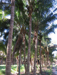 Coconut Maypan Palms