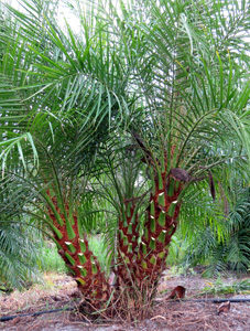 Pygmy Date Palms