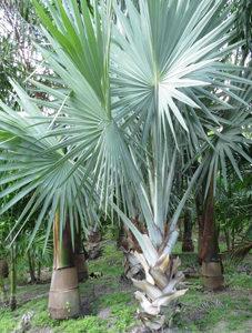 Silver Bismarckia Palms
