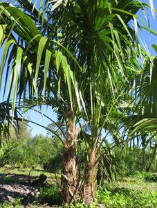 Thatch Palms