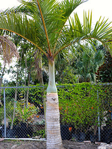 Spindle Palms